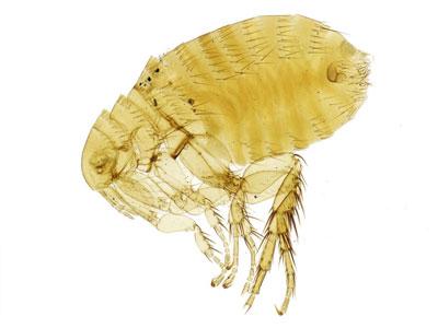 Female Flea