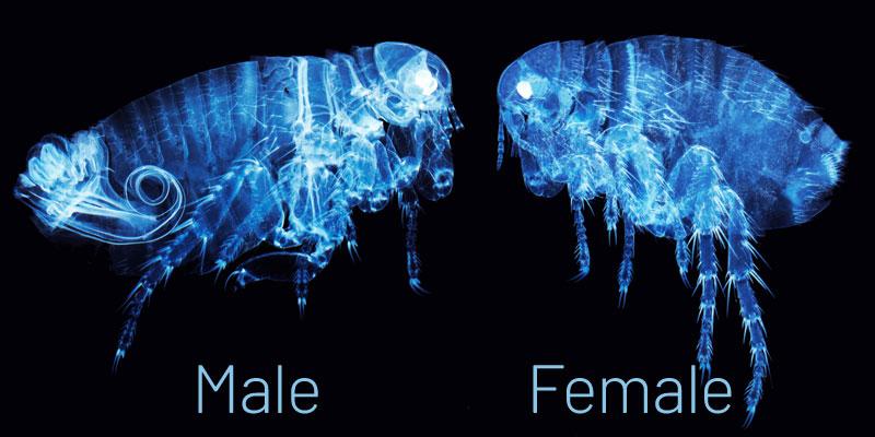Human Flea - Male & Female