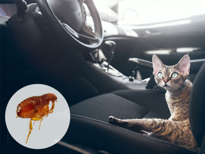 How to Get Rid of Fleas in Your Car?