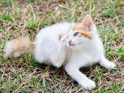 How to Get Rid of Kitten Fleas?