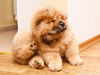 How to Get Rid of Puppy Fleas?